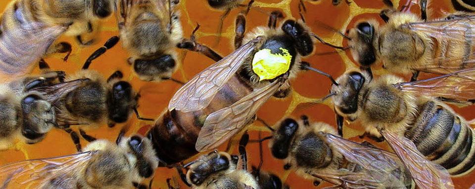 Bienenkoenigin1